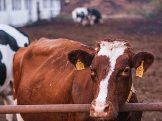 """Post image for """"Agrofirma """"Turība"""""""" ieguldīs 230 000 eiro piena liellopu kūts aprīkojumā"""